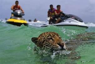 Can Jaguars Swim Jaguars Swimming And Underwater