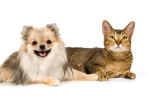 how to get cats and dogs to get along how to cure cat aggression in dogs care the daily puppy
