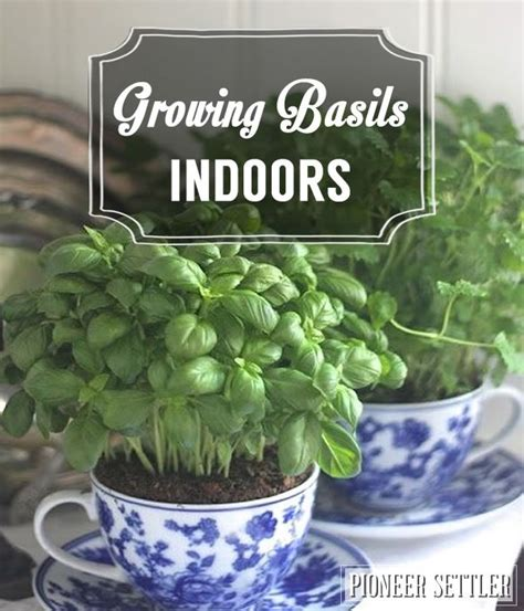 indoor self watering basil plant dying growing basil indoors