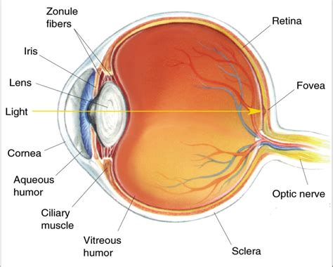 eye diagram image gallery human eye model diagram