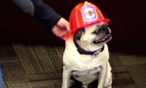 were pugs bred to fight lions pug receives hometown award for saving entire family rebrn