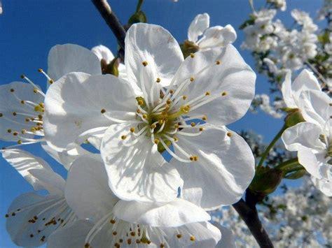 fiori di bach e bambini fiori di bach il cherry plum per calmare le crisi di pianto