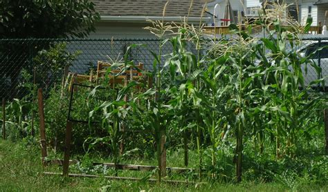 backyard corn file corn growing in a backyard garden in new jersey jpg
