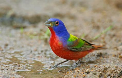 birds as art bulletin 171