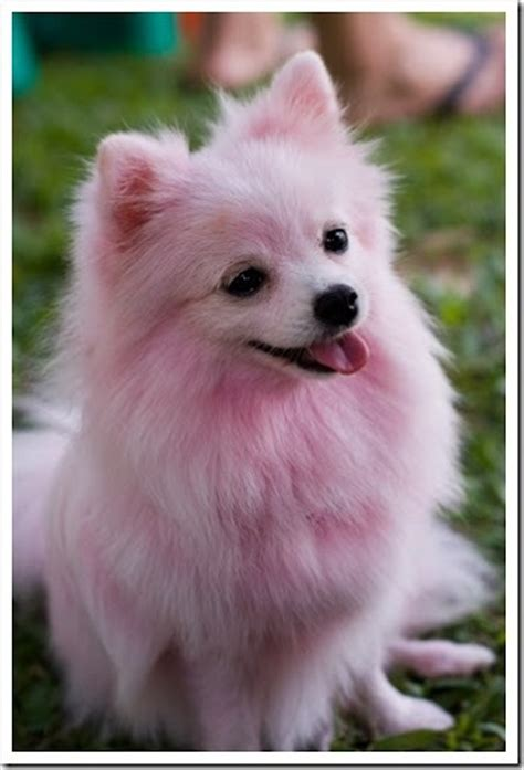 pomeranian hair dye 12 best images about fancy on neon coloring and