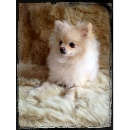 pomeranian breed rescue of northern illinois secret garden pomeranian pomeranian breeder in cook minnesota