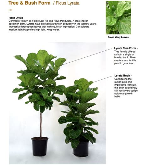 Home Decor Stores In Vancouver best 25 fiddle leaf fig ideas on pinterest fiddle leaf