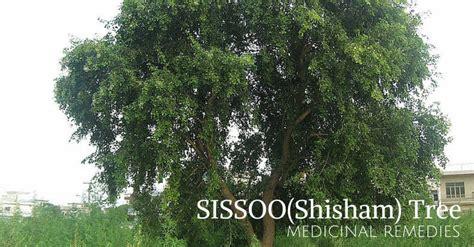 in tree medicinal tree shisham sissoo dalbergia sissoo bimbima