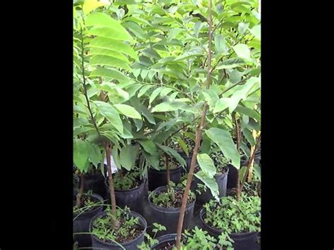 florida fruit trees for sale annona fruit trees miami florida sugar apple