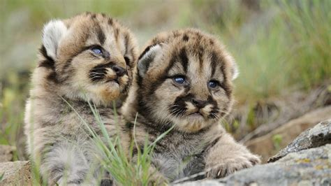 Gamis Anak Milli On Cat Flower the cubs android wallpapers for free