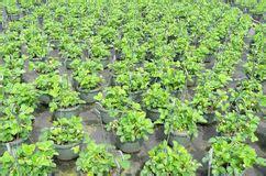 vasi per fragole vendita piante di fragola in vasi immagine stock immagine di