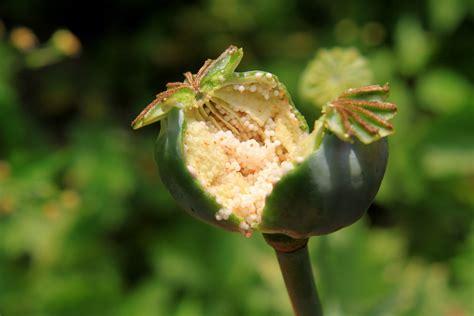 Opium by What Is Opium