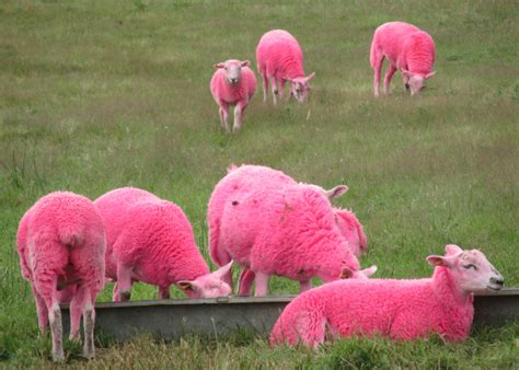 Sheep Pink 11 things we loved about the 11th edition of latitude festival ticketmaster uk