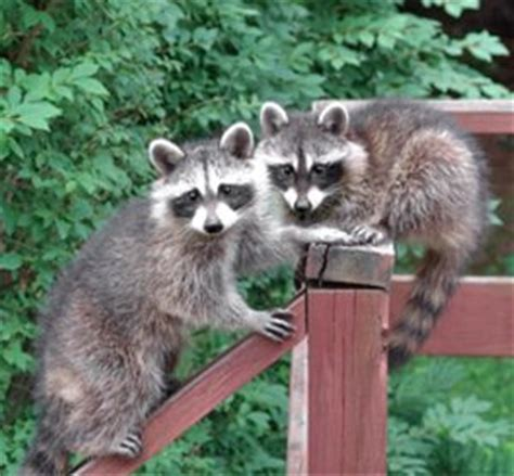 how to prevent raccoons in backyard 9 home remedies for preventing raccoons in yard q racoons