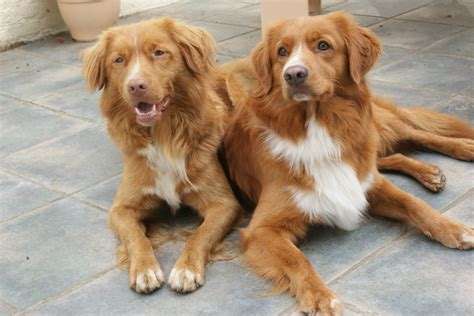 scotia duck tolling retriever puppies scotia duck tolling retriever puppies www pixshark images galleries