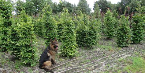 Garten Sichtschutz Pflanzen 574 by Ehrf 252 Rchtige Heckenbepflanzung Einzigartige Ideen Zum