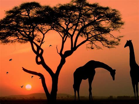 african sunset twilight tree red sky savannah animals birds giraffe rhino nature landscape