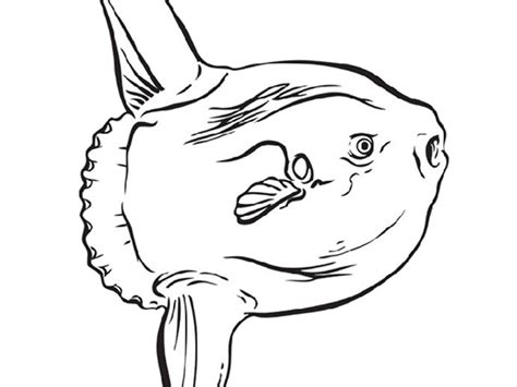 sunfish coloring page coloring pages at the monterey bay aquarium