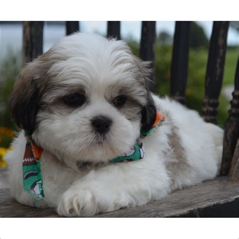 shih tzu puppies tucson view ad shih tzu puppy for sale arizona tucson usa