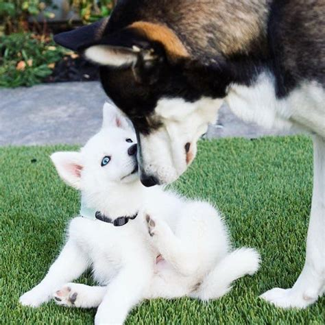 joey graceffa s dogs wolf and joey graceffa s doggies animals wolves valentines