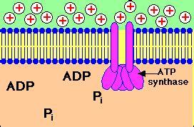 animation  chemiosmotic atp synthesis  bacteria
