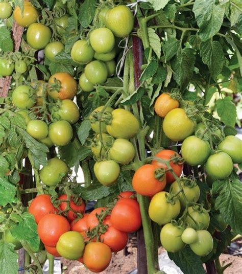 Bibit Daun Bawang Panah Merah tomat servo varian baru tomat hibrida tahan penyakit