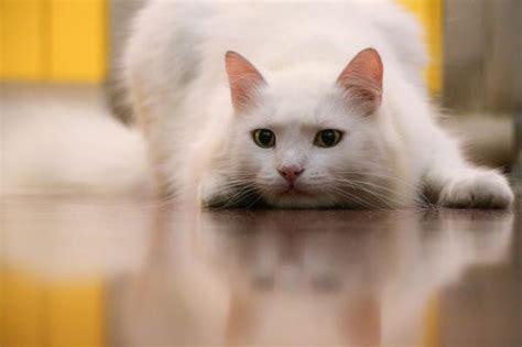 imagenes ojos blancos cuidados para un gato blanco