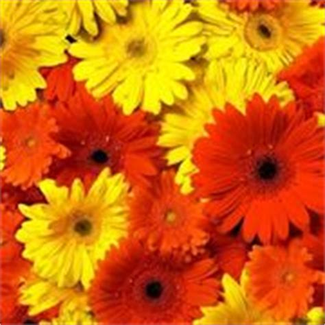 significato fiori gerbera significato dei fiori significato fiori conoscere il