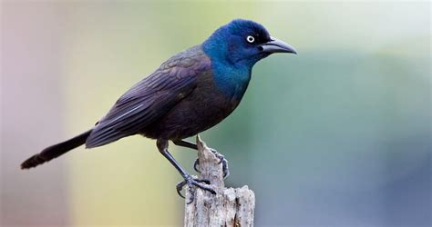 Common Grackle Identification All About Birds Cornell Blue Bird On Neck