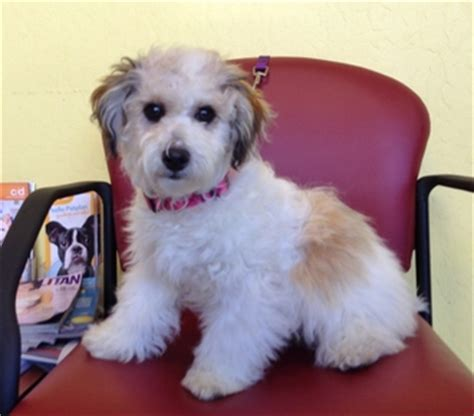 havanese rescue bay area shelby d5632 friends rescue cats adoption fostering in san francisco