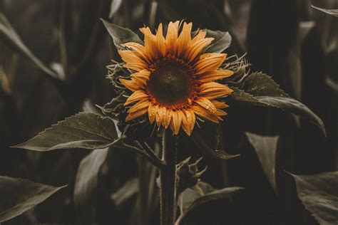 blossoming images  sunflowers pexels  stock
