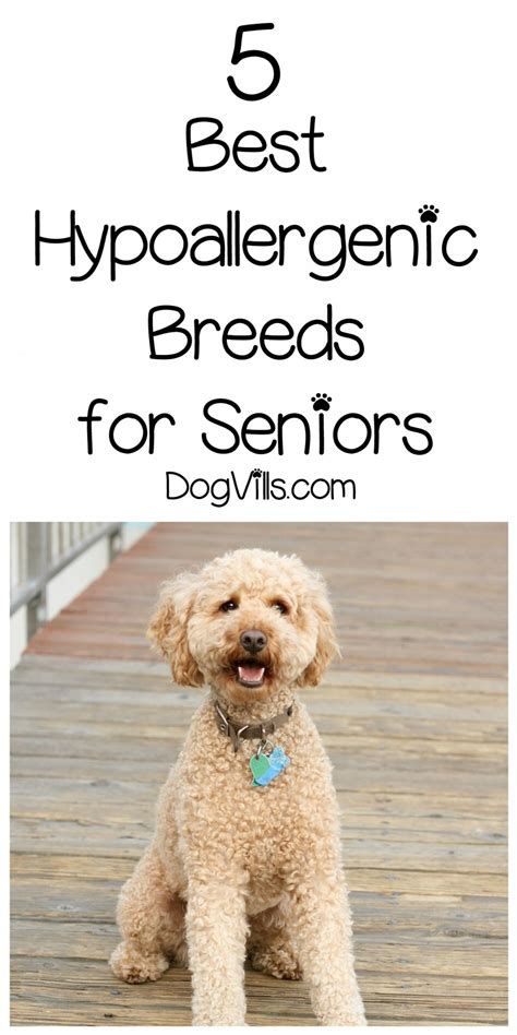 best breeds for seniors 5 best hypoallergenic breeds for seniors dogvills