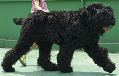 large russian breeds top 10 largest breeds in the world