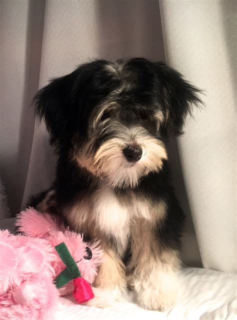 adopt havanese 2 havanese available for adoption havanese puppys