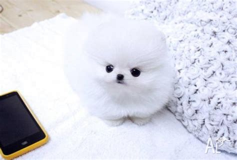 pomeranian puppies qld adorable tiny teacup pomeranian puppies available for sale in rockhton queensland