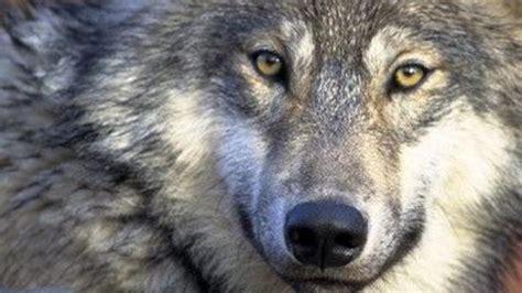 minicuentos de lobos y el lobo reconquista arag 243 n
