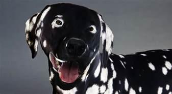 scientists create gmo reverse dalmatian
