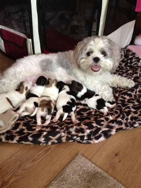 shichon puppies for sale 6 adorable shichon puppies for sale rotherham south pets4homes