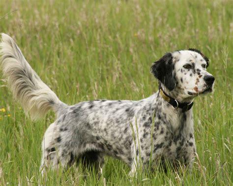 english setter dog wiki английский сеттер english setter фото описание породы
