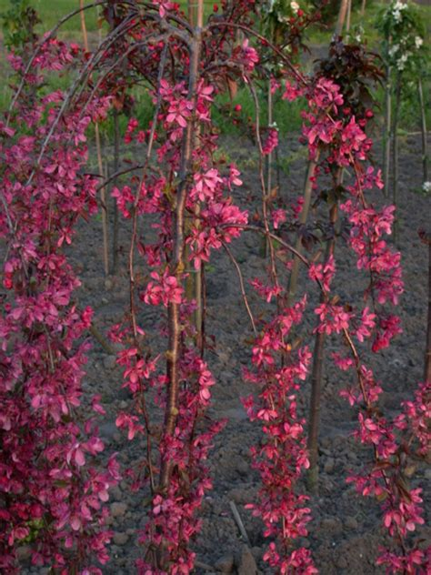 Wedding Bouquet Crabapple Tree by Royal Crab Apple Trees Chris Bowers