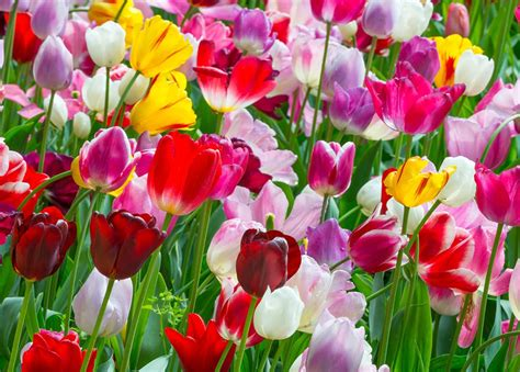 28 best describe tulip flower wholesale tulip bulbs