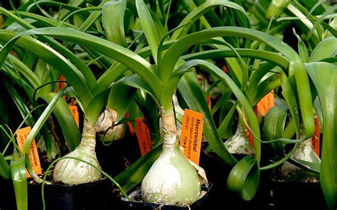 zimmerpflanzen schön dekorieren zimmerpflanze wei 223 e bl 252 te pflanzenportraits 9