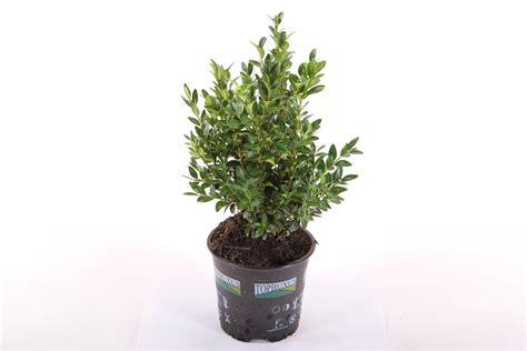 buxus sempervirens in vaso bosso su vaso 13 buxus sempervirens linea verde