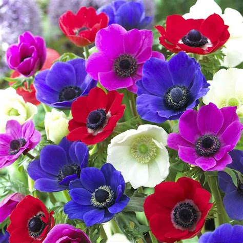 anemone de caen buy anemone bulbs anemone coronaria de caen group mixed