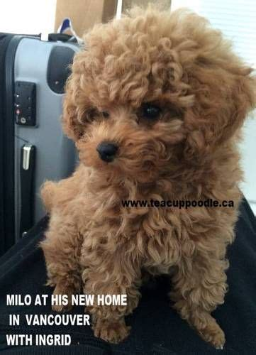 tiny teacup poodle puppies for sale best 25 teacup poodle puppies ideas on