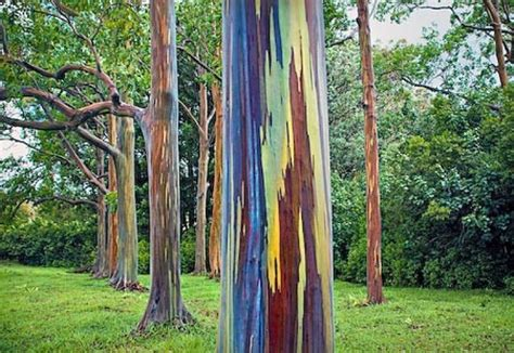 rainbow trees rainbow eucalyptus 15 pictures of the world s most