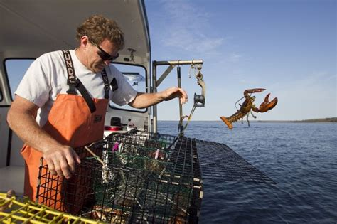 lobster boat sternman what the lobster population means for the fishing industry