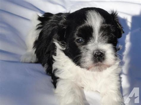 maltese puppies for sale dallas malshi puppies dallas shih tzu maltese mix for sale in brush