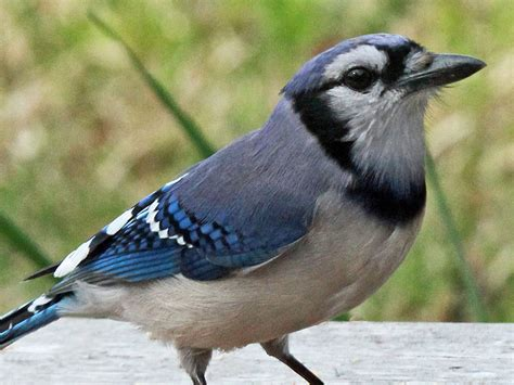 10 fun facts about blue jays