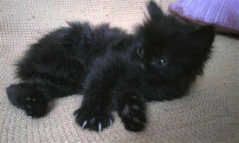 alimentazione gatto 2 mesi gatto pelo lungo nero occhi azzurri pisa think green